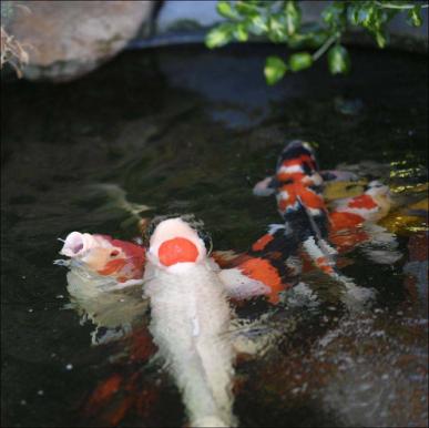 锦鲤鱼池过滤